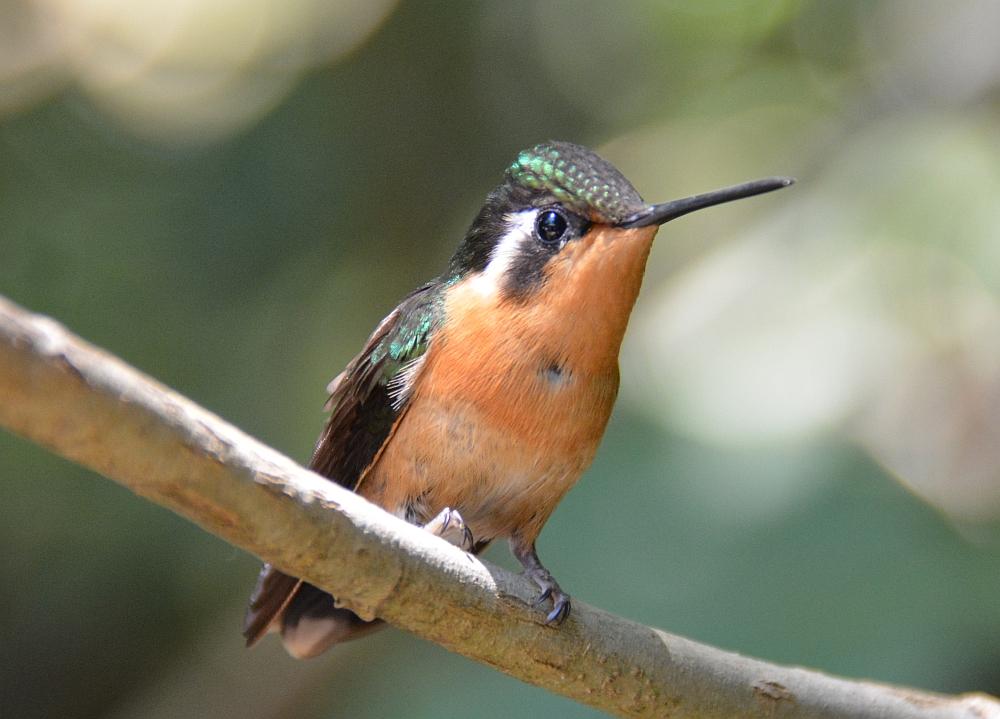 kolibri Monteverde