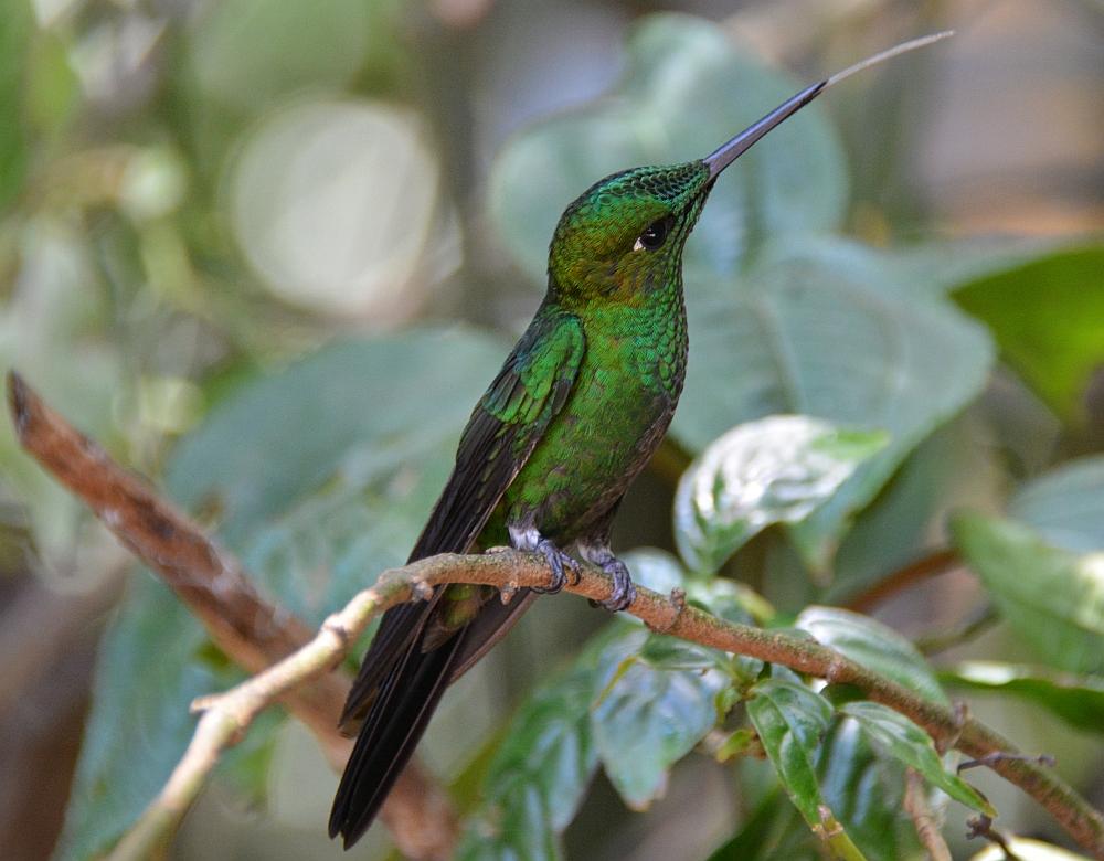 monteverdekolibri2