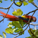 Scarlet Macaw,Costa Rica