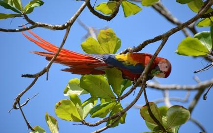 Scarlet Macaw,Costa Rica