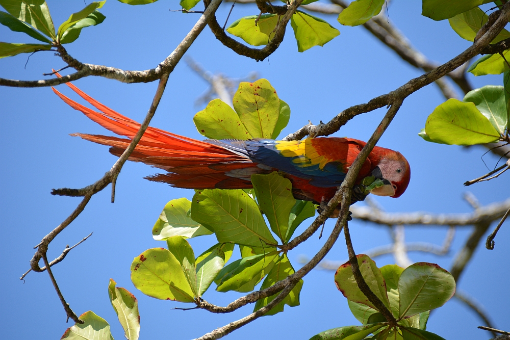 Scarlet Macaw backpacken Costa Rica