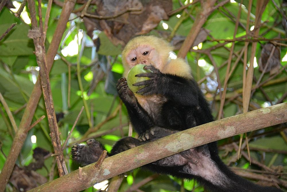 kustwandeling Costa Rica Capucijneraap