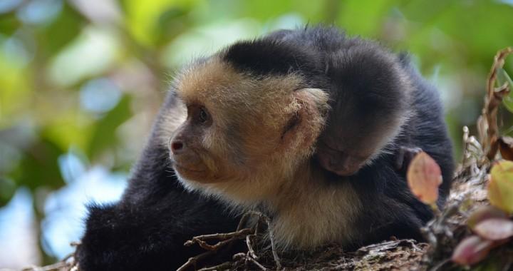 kapucijnapen Manuel Antonio Costa Rica