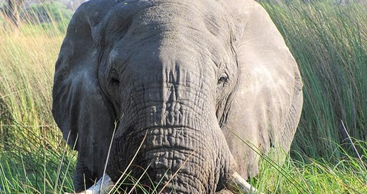 olifant in Okavango