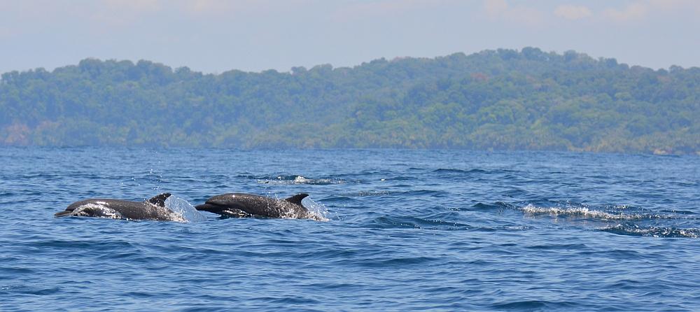dolfijnen bij Drake Bay paradijs van Costa Rica