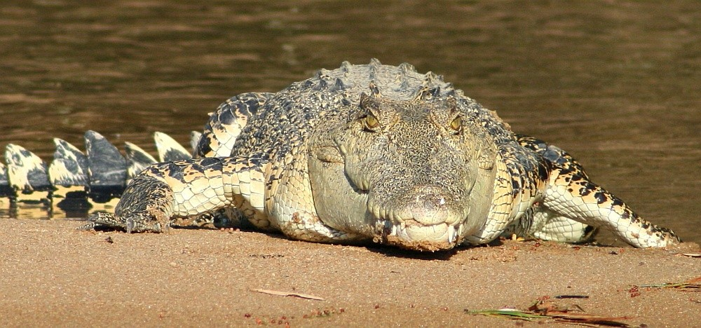 salty krokodillen Australië