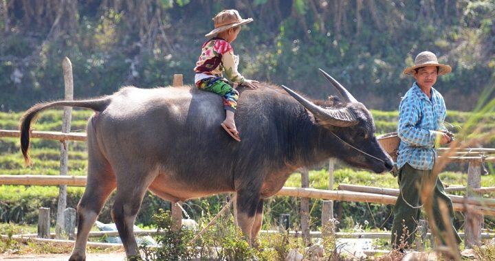 Myanmar man met kind op os
