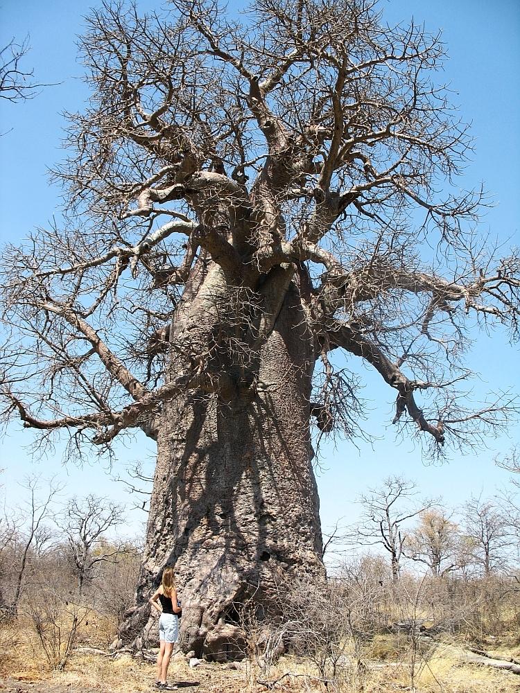 baobab boom2