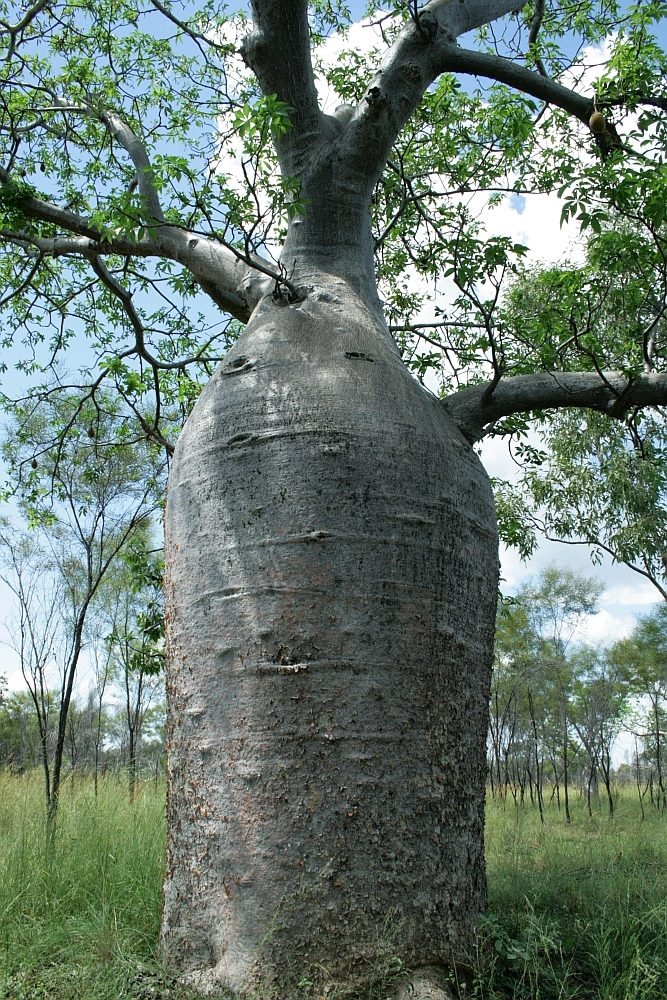 baobab boom4
