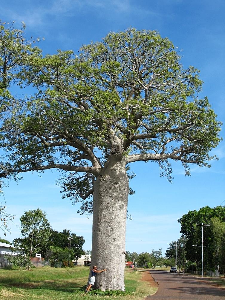 baobab boom5