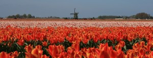 Tulip fiels Holland, bollenvelden in Nederland
