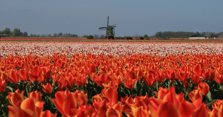 Tulip fiels Holland