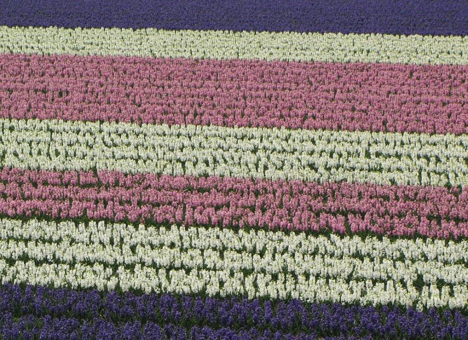 bollenvelden met hyacinthen