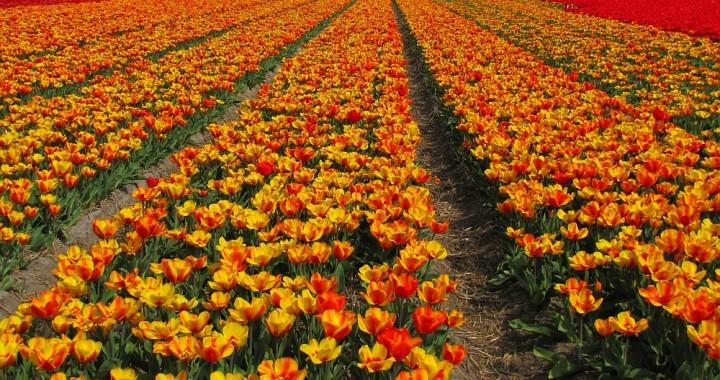 bollenvelden Nederland