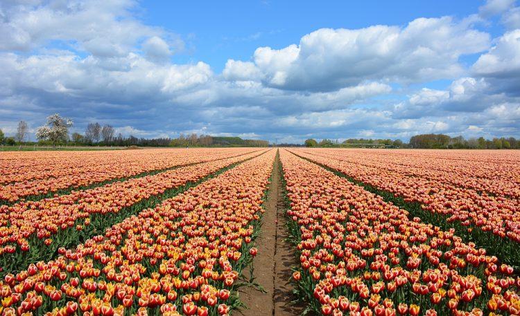 bollenveldenin Gelderland in de buurt van Zevernaar