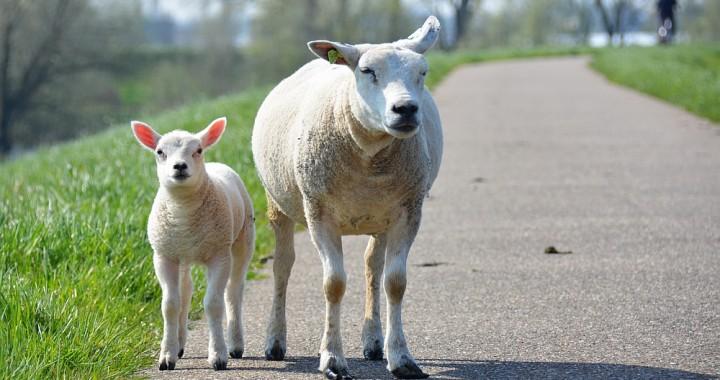 schaap met lammetje, mooiste lentewandelingen in Nederland