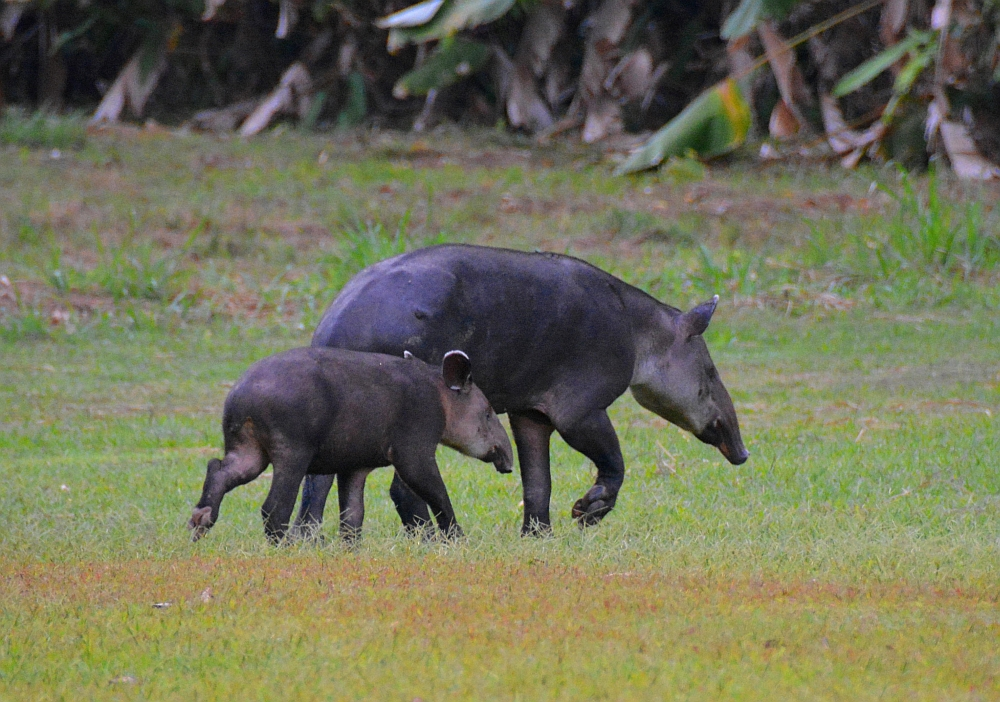 Tapir Corcovado National Park backpacken Costa Rica