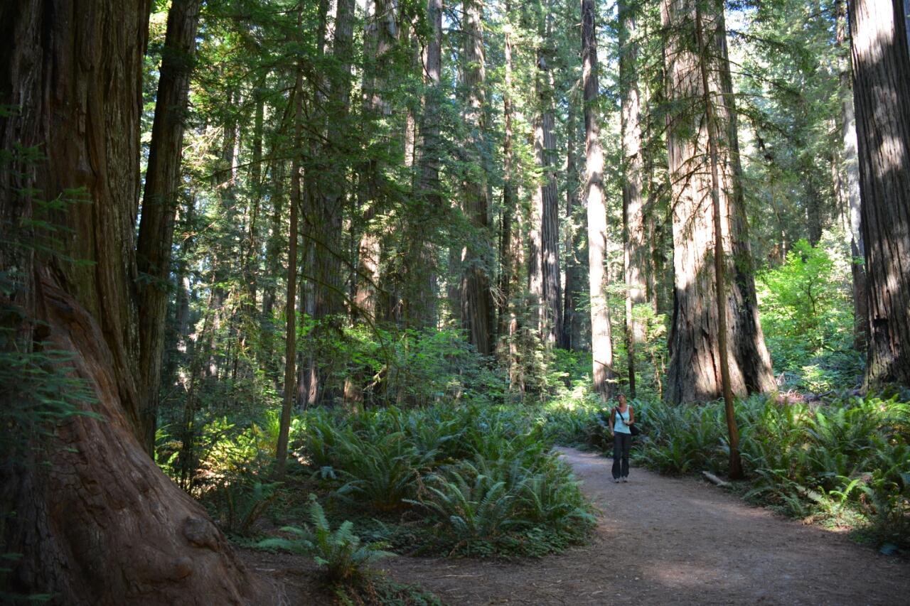 secuoia bomen reuzenbomen in westen Amerika