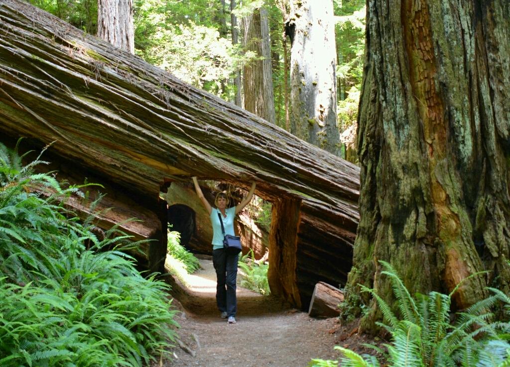Prairie Creek Redwoods State Park. squoia bomen
