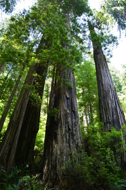 gigantische Redwood of Sequoia bomen van de Californische kust
