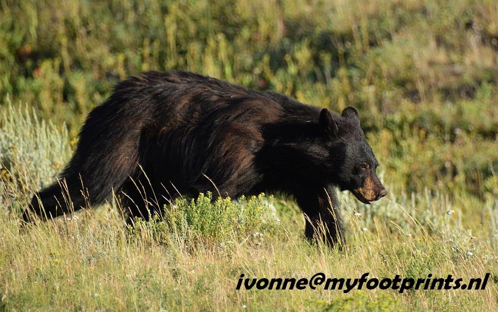 zwarte beer in Yellowstone foto van de maand augustus 2106