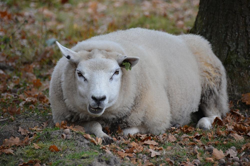 schaap in Drents Friese Wold