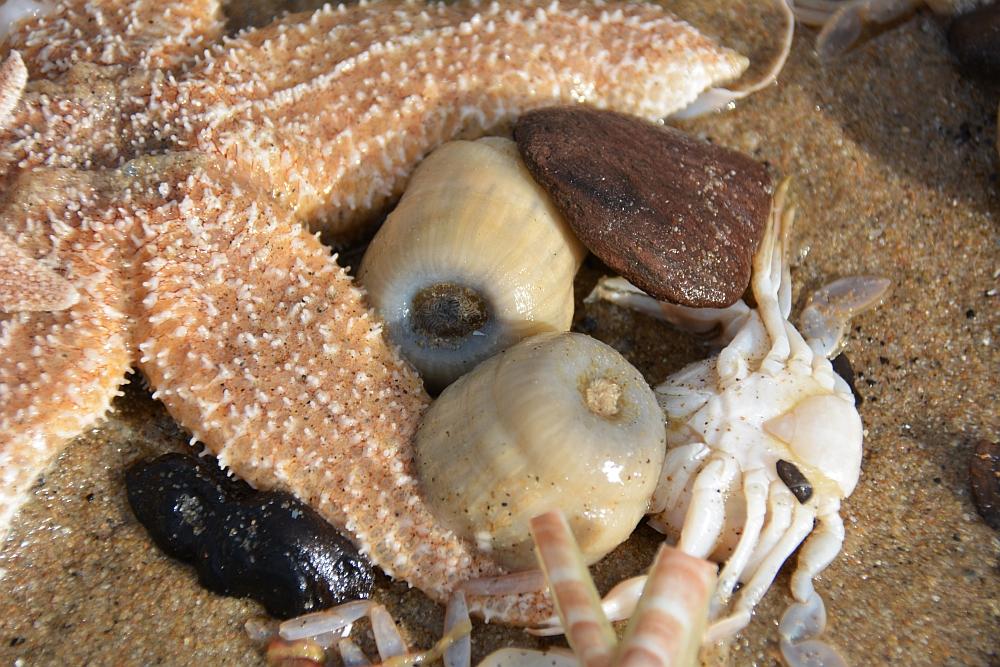 wandelen door de duinen bij Den Haag aangespoelde schelpen en zeester Kijkduin
