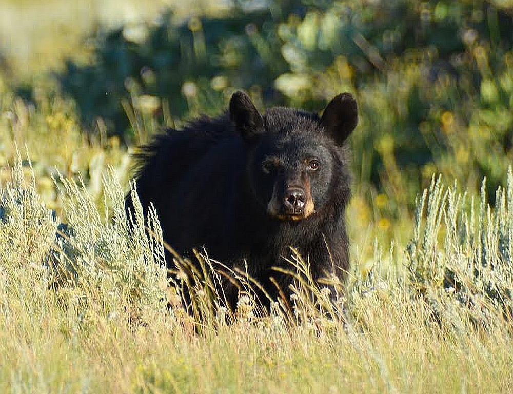 yellowstone black bear