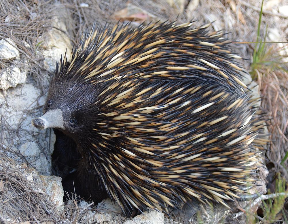 Dieren in Australië; de Echidna