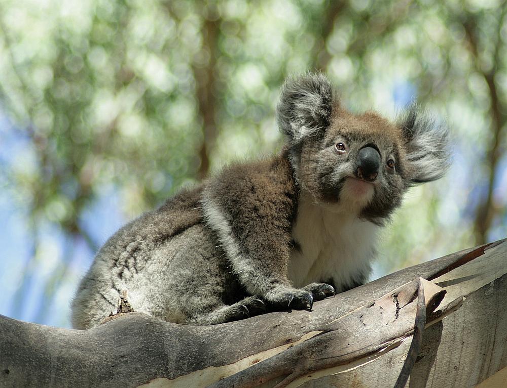 Koala bij de Great Ocean Road