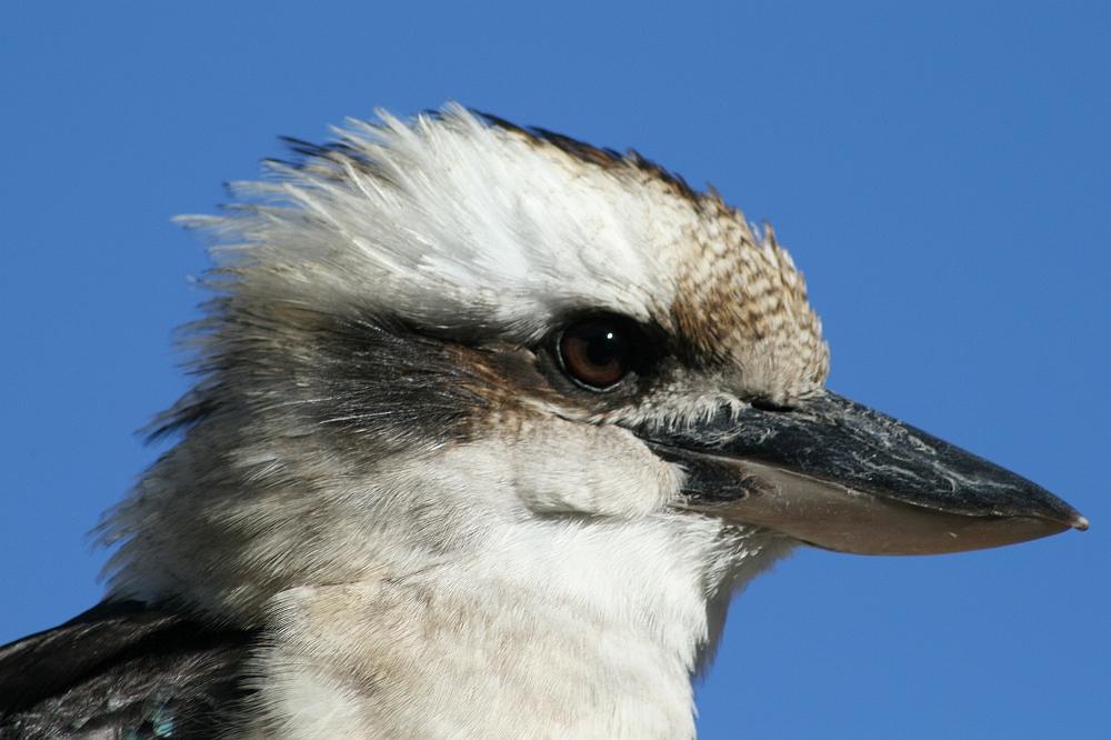 Kookaburra Australië