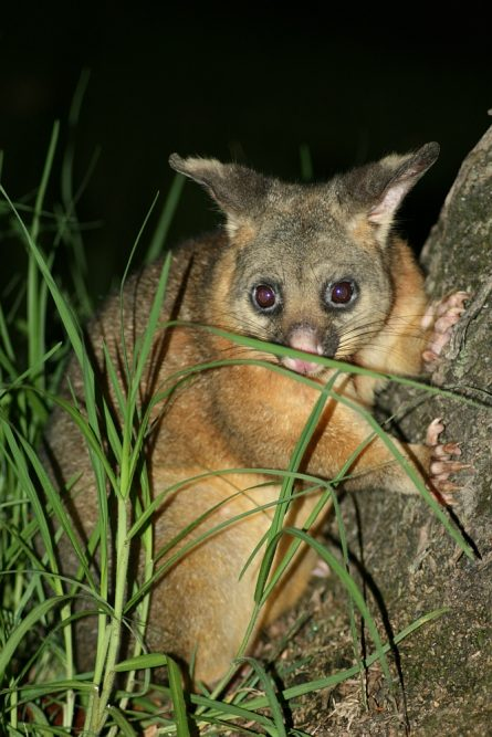 De voskoesoe of Brushtail Possum