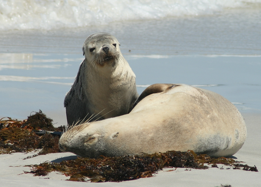 zeehonden op Kangaroo Island