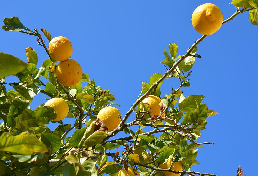 citroenen tijdens fietstocht Mallorca met Fred Rompelberg