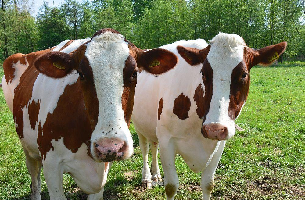 Wandelen in Limburg koeien