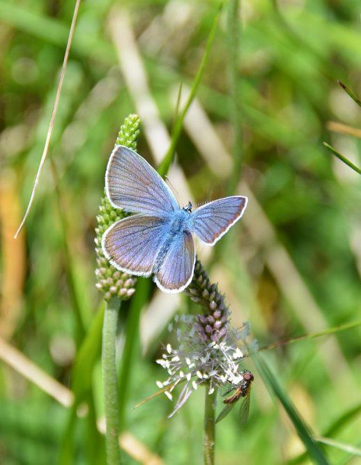 Garda Trentino, vlinder