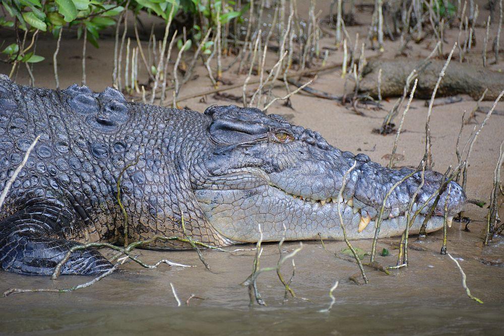 krokodillen in Australië