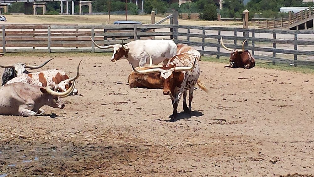 longhorns Texas