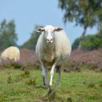 de mooiste heidewwandelingen van Nederland, schaap Ermelosche heide