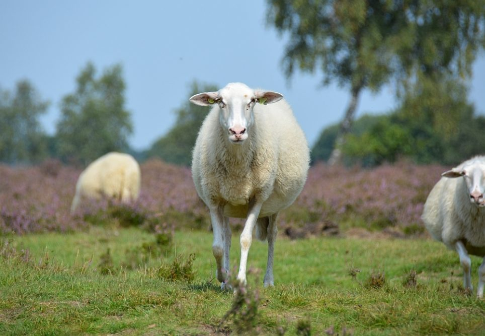 heidewandeling en schaap op de Veluwe, de Ermelosche heide