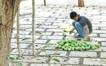leven in India mangoboom