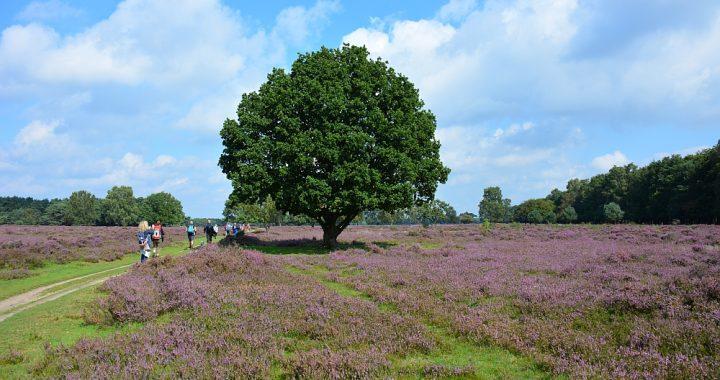 mooiste heidewandelingen in Nederland, voetstappenpad Bussummerheide