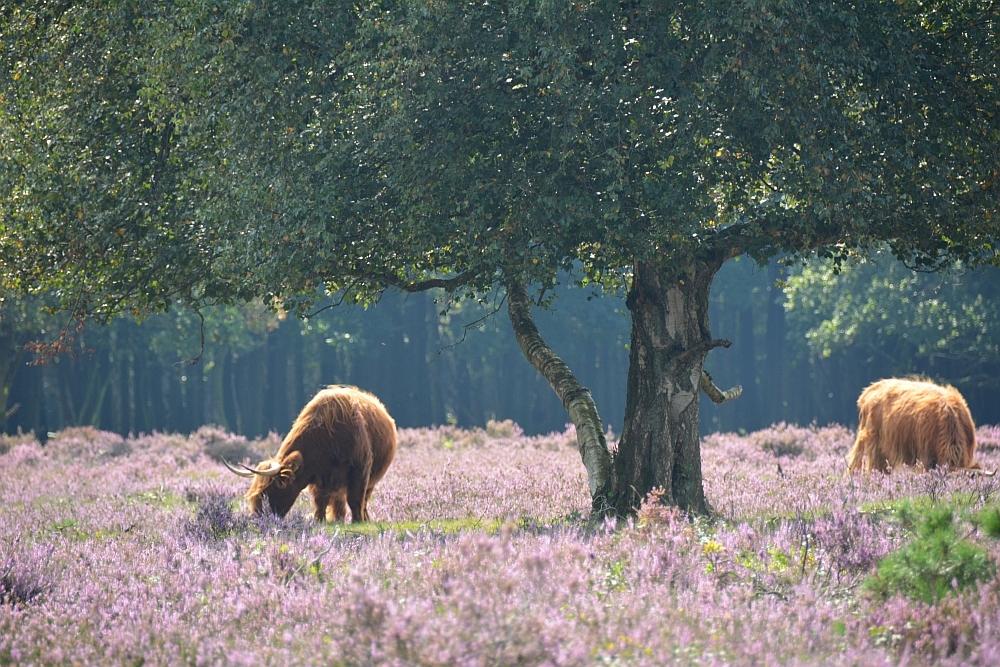 voetstappenpad Hilversum Schotse Hooglanders