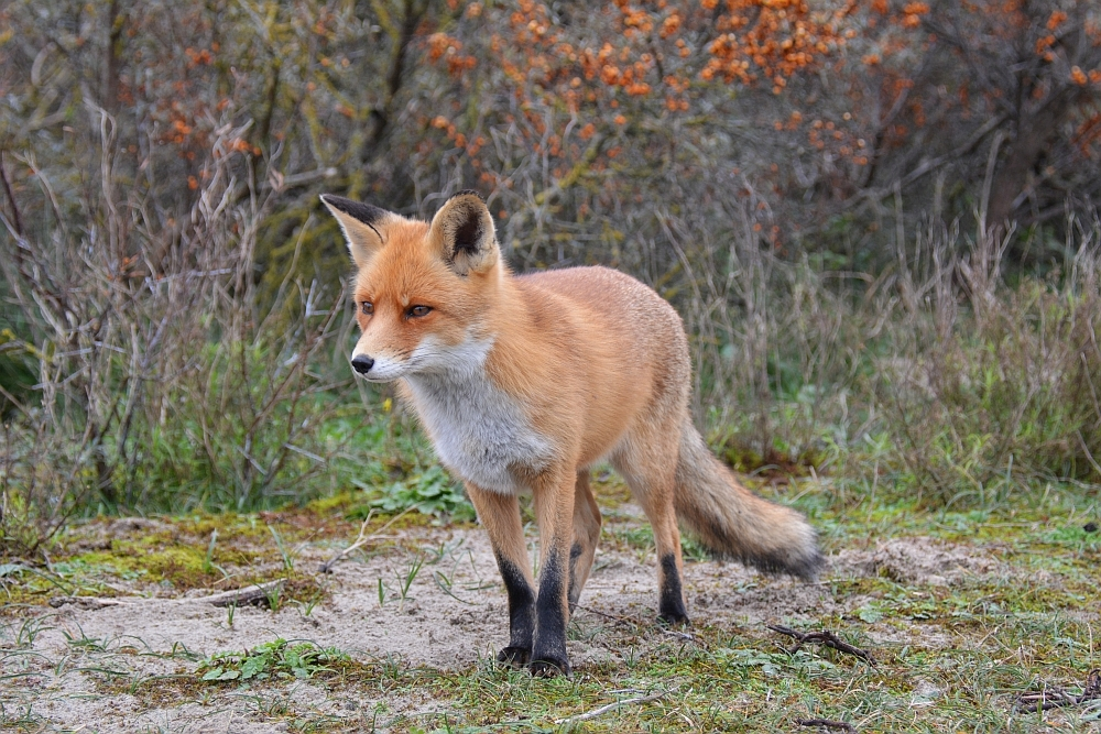 vos bij Kijkduin