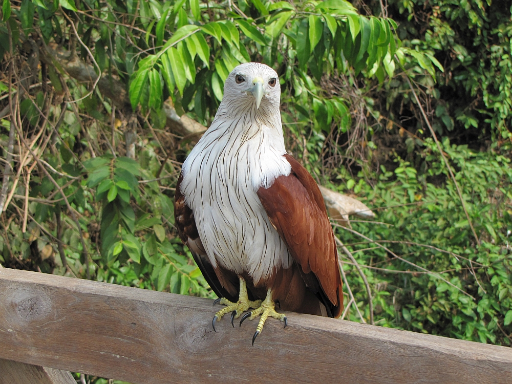 roofvogel bij Angkor Cambodja