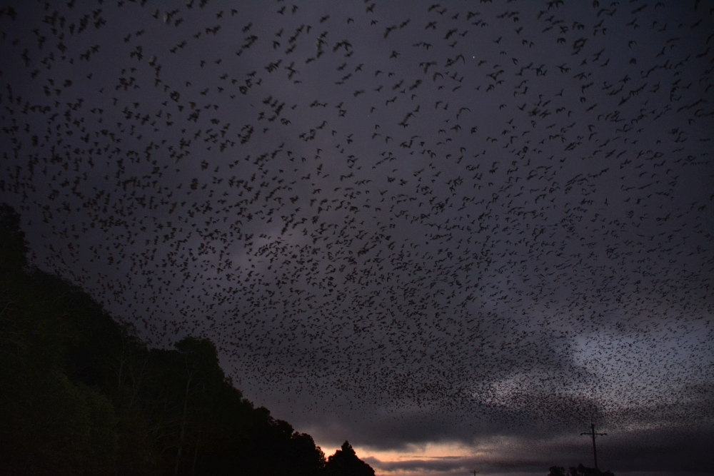 vleermuizen bij Tolga, Atherton Tablelands, Australië