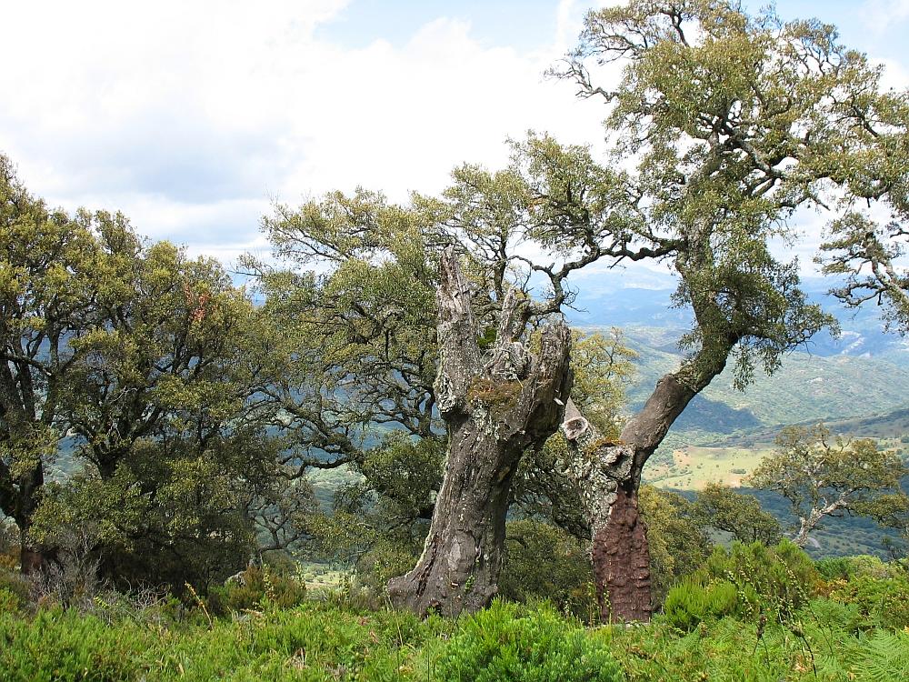 Los Alcornales kurkeiken Andalusië