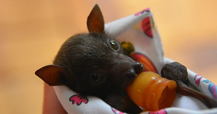 vleermuis baby in Tolga Bat Hospital