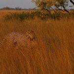cheeta's in Liuwa Plain National Park, wildlife in Zambia