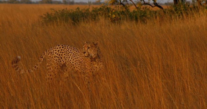 cheeta's in Liuwa Plain National Park, wildlife in Zambia